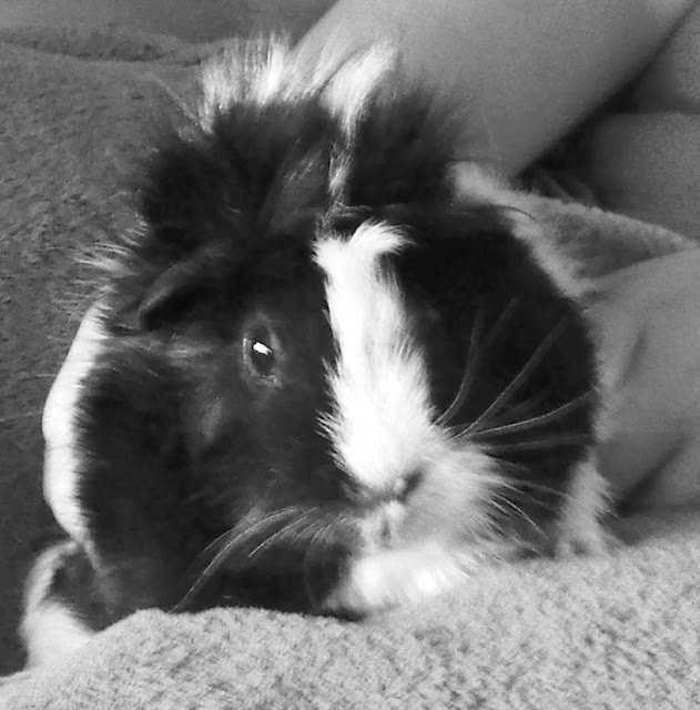 Black and White #GuineaPig loves to cuddle in a blanket