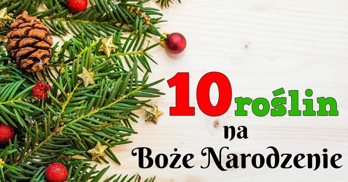 10 Roslin Na Boze Narodzenie Bez Ogrodek Blog Ogrodniczy