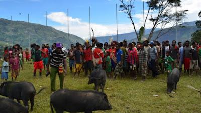 Berkali Lipat Jika Tabrak Babi Betina di Papua, Ini Perhitungan Ganti Rugi