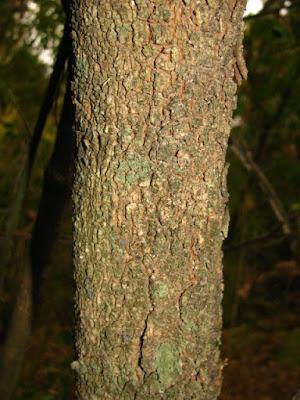 arboles de las yungas Quebrachillo colorado (Athyana weinmanniifolia)