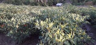 tanam cabe rawit, benih carika, budidaya cabe, cabai, jual benih cabe, toko pertanian, toko online, lmga agro