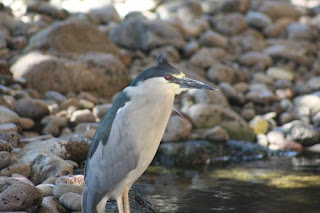 Black-Crowned Night Heron waits for a bite.