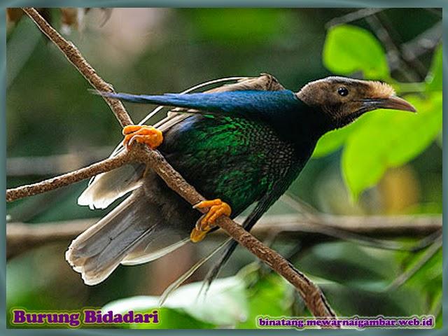 gambar burung bidadari