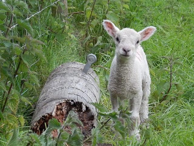 Lamb in Cornwall