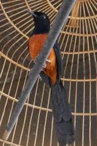 Mengenal Lebih Dekat Burung Murai Batu Ekor Hitam Dari Aceh Paling Lengkap Kicau Mania