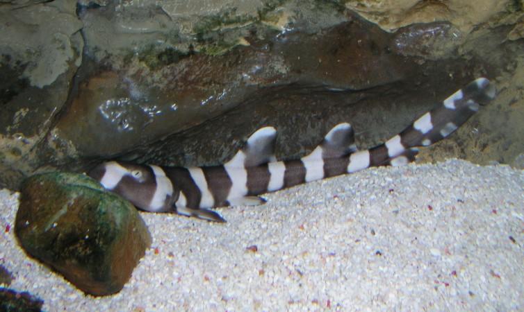bamboo shark tank - photo #36