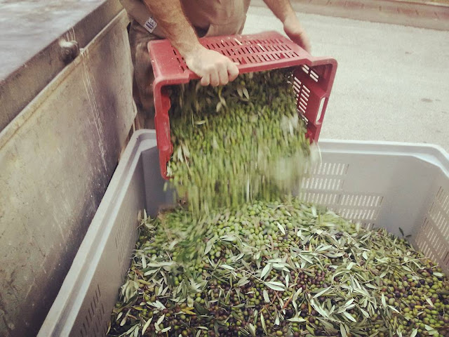 Crates of olives are emptied at the olive press