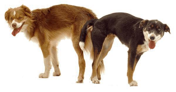 dog estrus