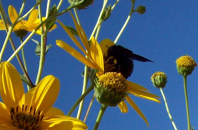 Moscardón en una flor de Tupinambo
