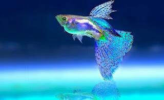 Guppy Ikan Hias Air Tawar yang Bisa Dicampur