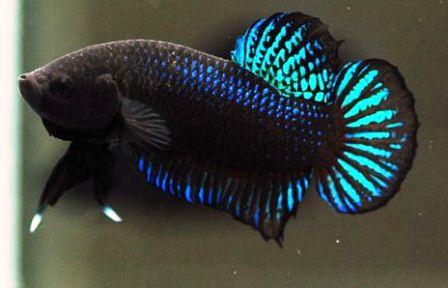 960 Koleksi Gambar Ikan Cupang Dan Penjelasan Terbaik