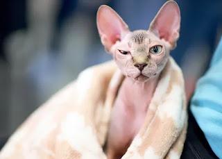 kucing shpinx palsu