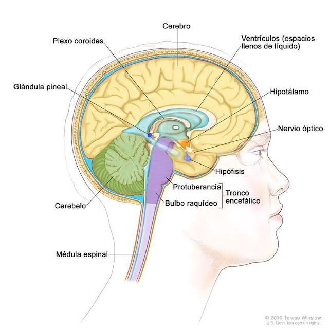 GLÁNDULAS ENDOCRINAS (4): HIPÓFISIS | Inteligencia Ígnea
