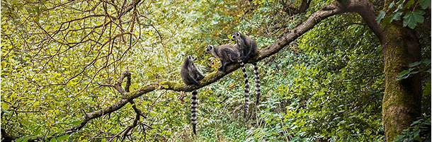 The lemurs of Madagascar