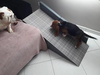 buldog acesso a sofá