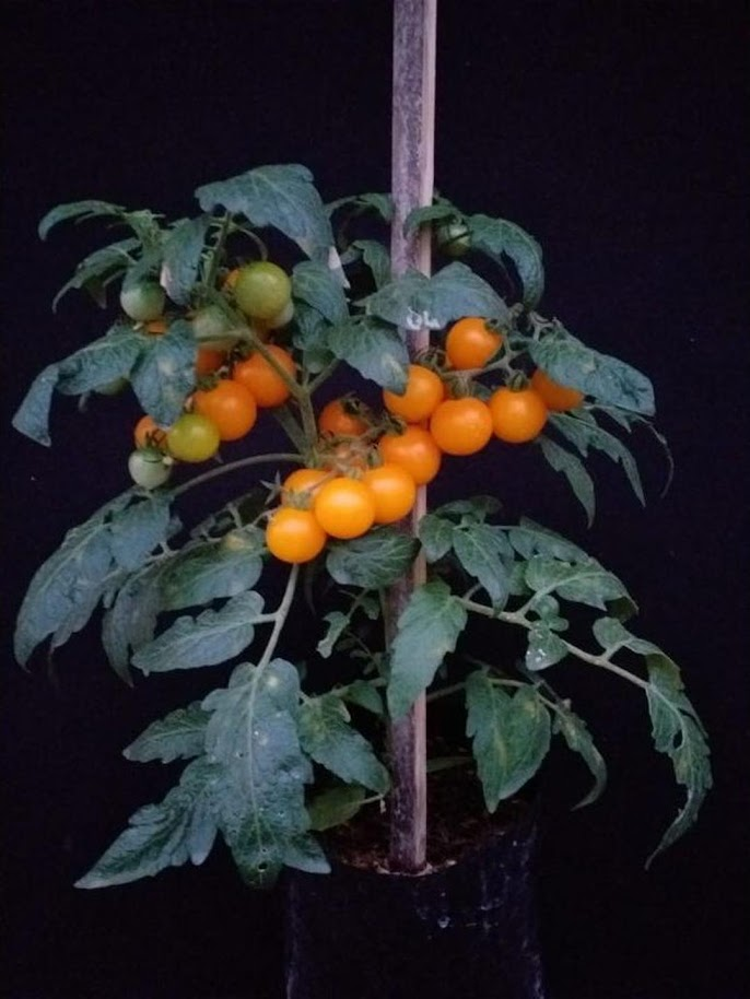 Paket Benih 40 Biji Tomat Mini 4 Jenis Jawa Timur