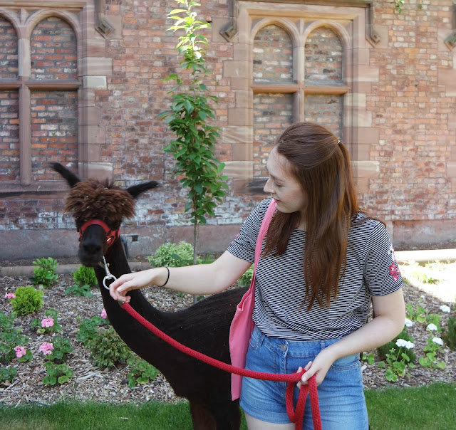 a girl with auburn hair holds a dark brown alpaca on a lead