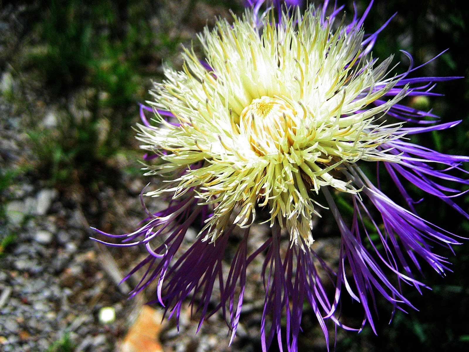 Living Rootless: Highway 82: A Purple and White Flower