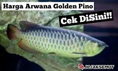 harga arwana golden pino