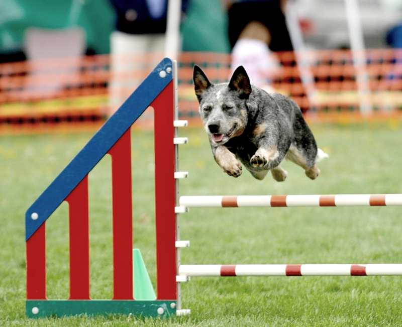 Australian-Cattle-Dog-Agility-Competition