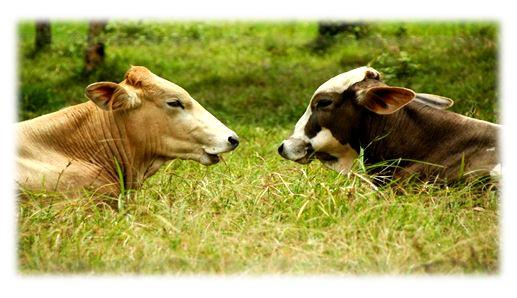 دراسة حديثة الأبقار تتواصل فيما بينها وتعبر عن الحماس والارتباط والضيق