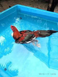 Cara Melatih Fisik Ayam Aduan Dengan Cara Renang