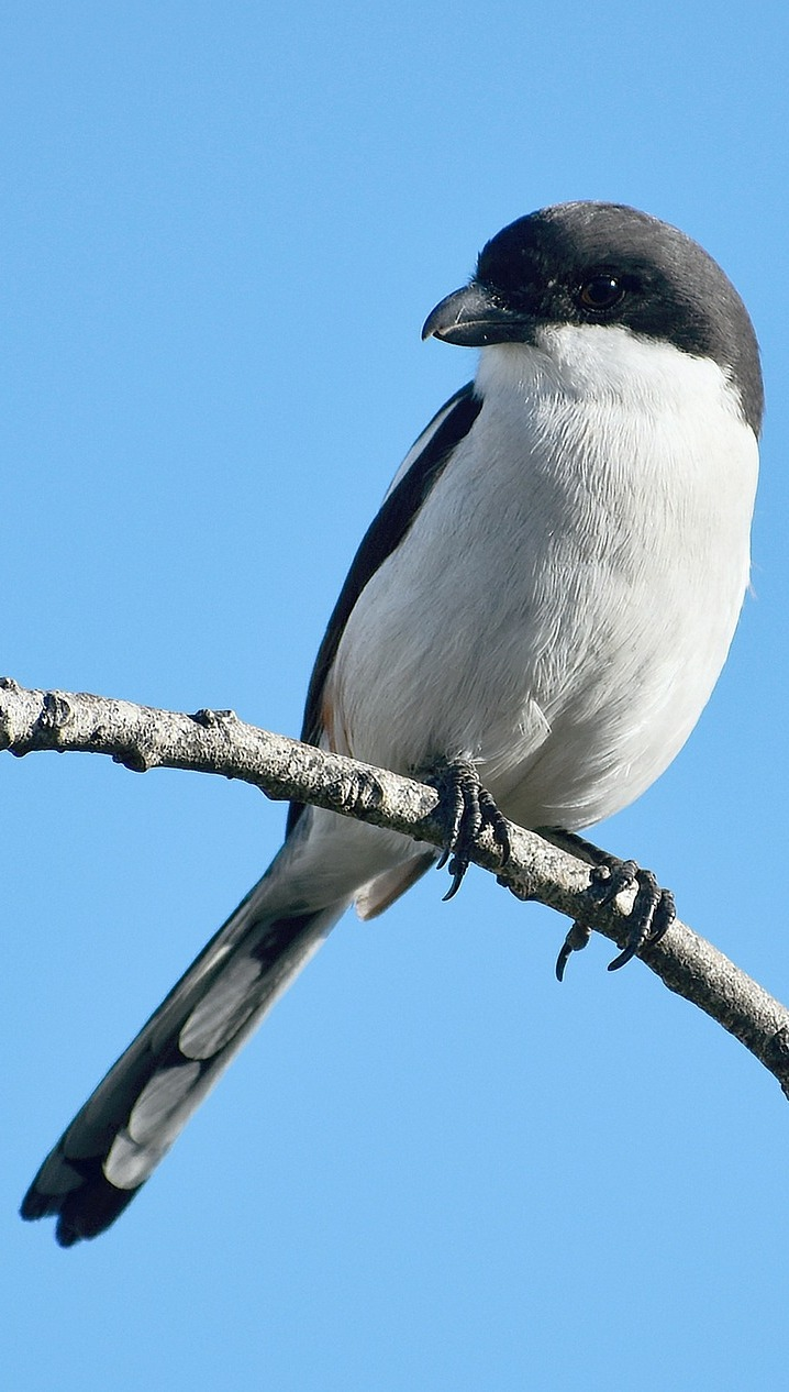 A southern fiscal bird.