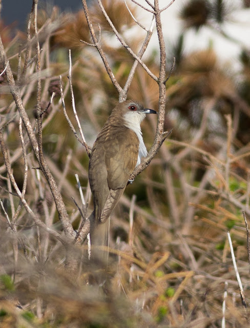Black-billed Cuckoo - North Uist