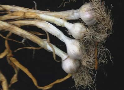 Bacterial slippery skin of Garlic