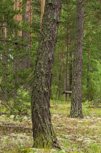 Повёз тёлку в лес