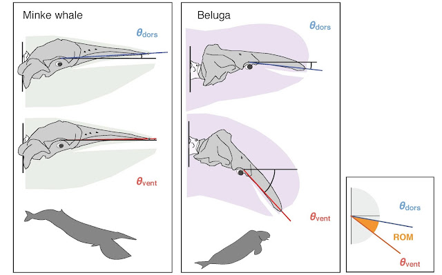 A 'pivotal' moment for understanding whale evolution