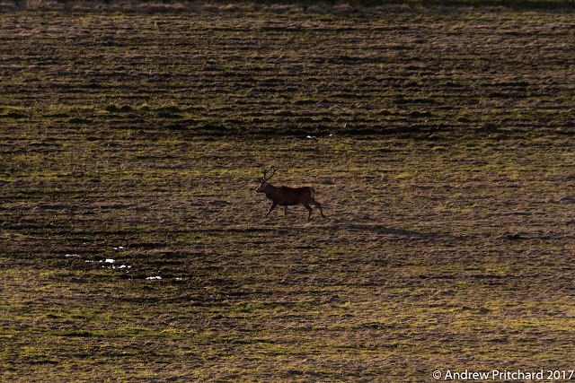 A lone stag patrols the flat lands, probably looking for rivals to challenge.