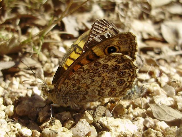 Pareja de mariposas Lasiommata megera en copula