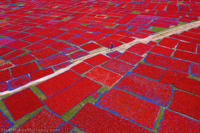 3. Pepper harvest in Chile. (Photo by Sujon Adhikary
