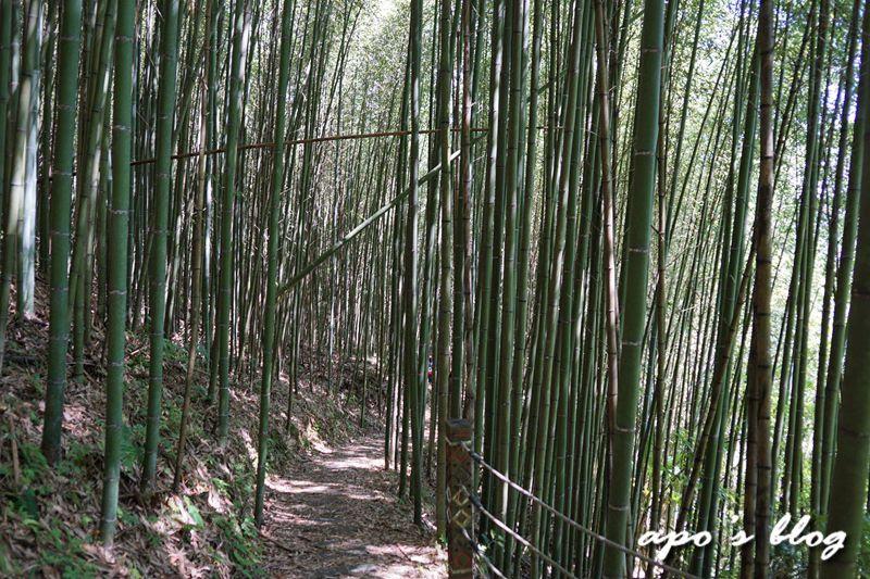 白蘭溪古道的桂竹林