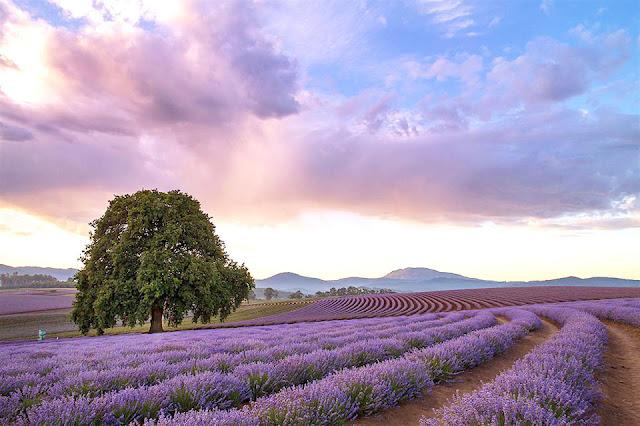 Trang trại Bridestowe Lavender Estate, vùng Tasmania