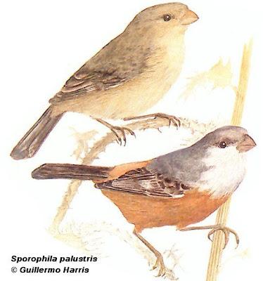 aves en extincion de Argentina Capuchino pecho blanco Sporophila palustris