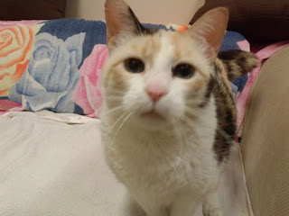 My fellow diabetic cat Snowball is a pretty girl!