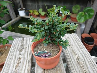 紅紫檀 ベニシタン 実