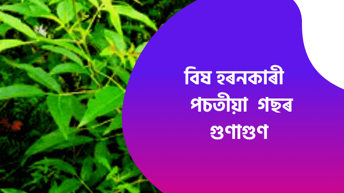 Assamese Ghorua Diha পচতীয়া  গছ Assamese Ayurvedic Tips