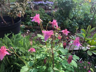 pink aquilegia flowering in the garden