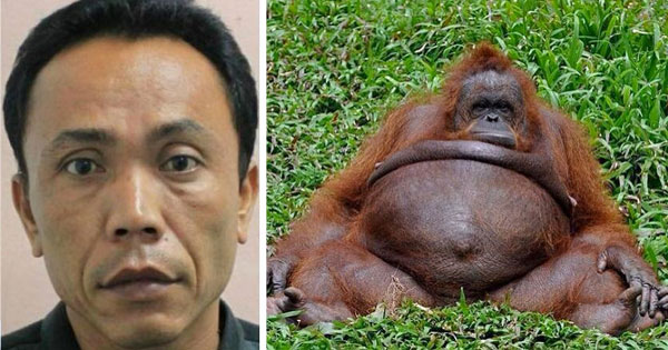 INDONESIA: ZOO KEEPER ACCUSED OF IMPREGNATING FEMALE ORANGUTAN