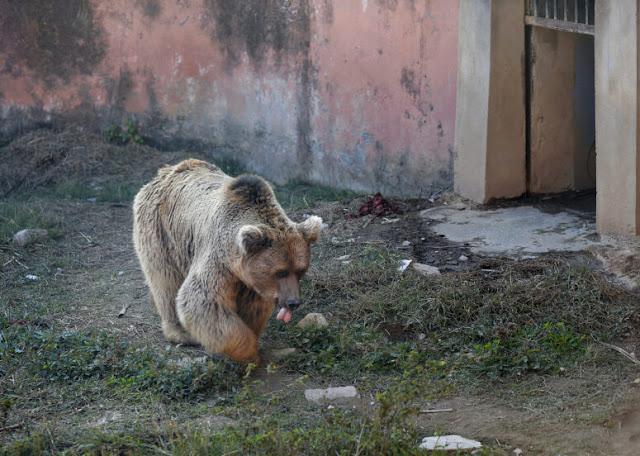 Dua Hewan Terakhir Dibebaskan dari 'Kebun Binatang Terburuk di Dunia'