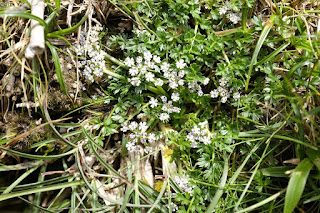 ツクシゼリ、屋久島の植物