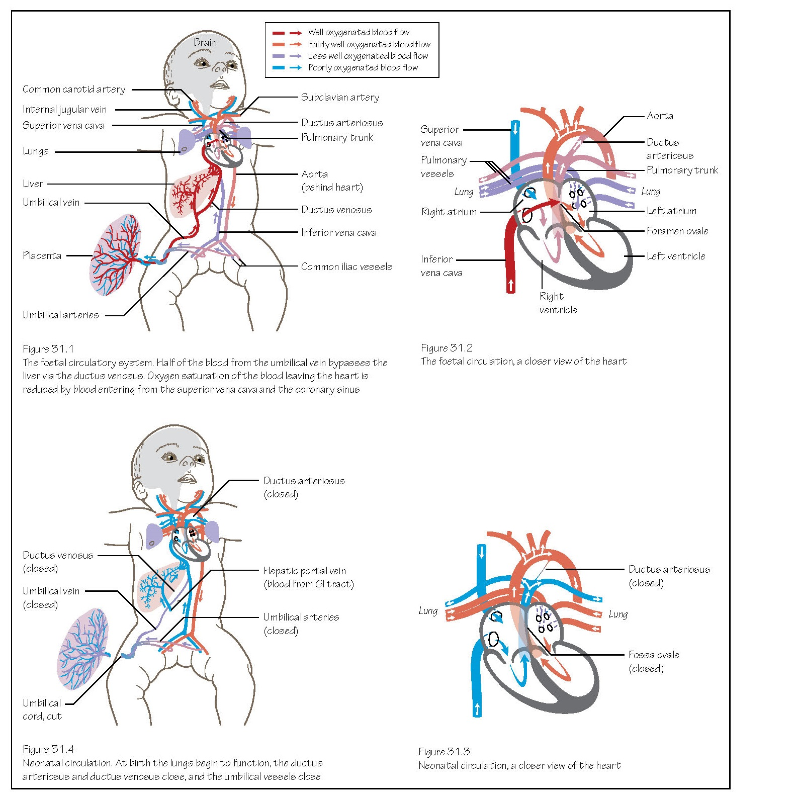 Circulation System: Changes At Birth, Foetal blood circulation, Ductus venosus, Ductus arteriosus, Foramen ovale,