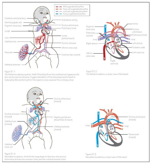 Circulation System: Changes At Birth, Foetal blood circulation, Ductus venosus, Ductus arteriosus, Foramen ovale,