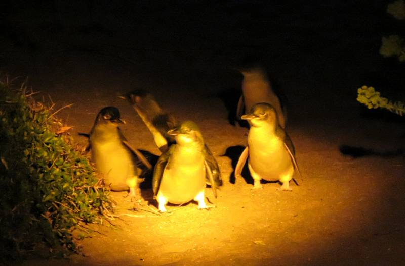 little blue penguins