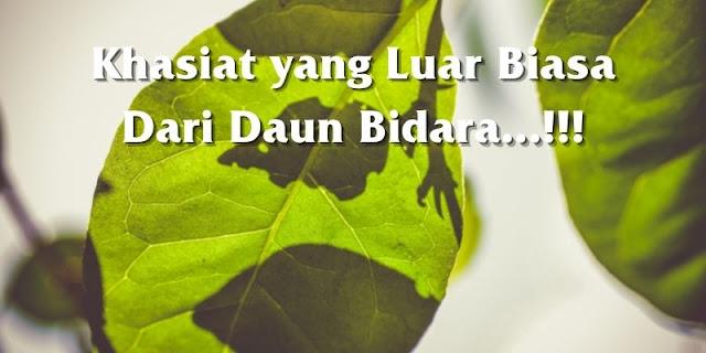 khasiat daun bidara