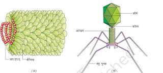 वायरस की संरचना
