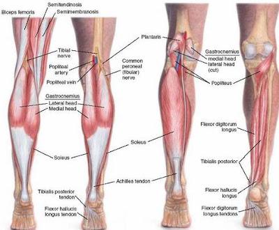 Anatomi plantaris pada tubuh manusia. Bahasan anatomi origo plantaris, insersi plantaris, aksi plantaris, persarafan plantaris, dan arteri dari otot plantaris.